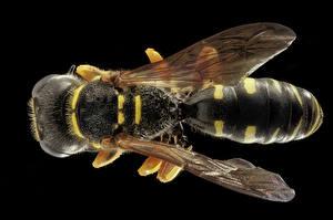 Image Closeup Macro Wasp Black background Wings