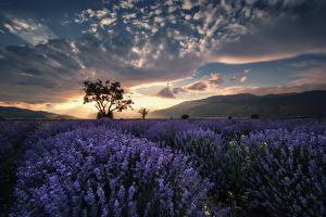 Fotos Felder Lavendel Morgen Himmel Bäume Wolke Natur