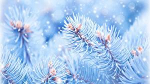 Fotos Ast Schnee Fichten Natur