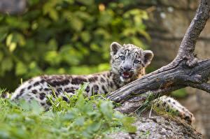 Fotos Irbis Jungtiere ©Tambako The Jaguar Tiere