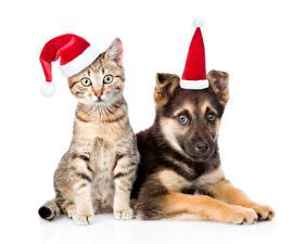 Bilder Neujahr Katze Hunde Weißer hintergrund Mütze 2 Shepherd Lustiges