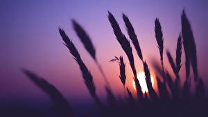 Bilder Sonnenaufgänge und Sonnenuntergänge Ähre Silhouette Sonne