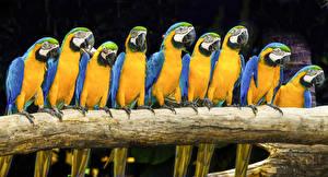 Bilder Vogel Papagei Eigentliche Aras Ast
