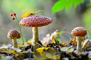 Hintergrundbilder Beere Herbst Pilze Natur Drei 3 Natur