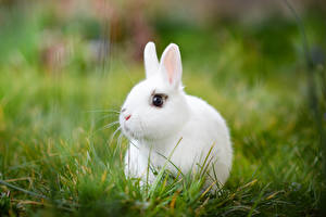 Pictures Rabbits Grass Animals