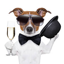 Wallpapers Dog White background Jack Russell terrier Glasses Hat Stemware Bowknot Funny Bow tie animal