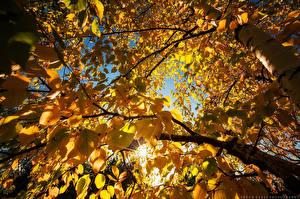 Fotos Herbst Blattwerk Ast Birken Untersicht Ansicht von unten Gelb Natur