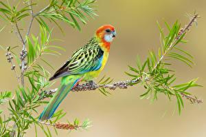 Fotos Vögel Papageien Farbigen hintergrund Ast Tiere