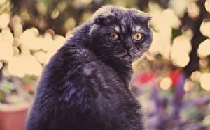 Fotos Katzen Schottische Faltohrkatze Starren