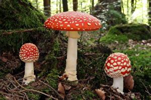 Fotos Hautnah Pilze Natur Wulstlinge