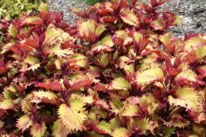 Desktop wallpapers Coleus Closeup Foliage Flowers