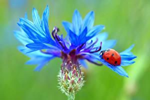 Picture Centaurea Closeup Ladybird Nature