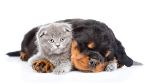 Photo Dogs Cats Rottweiler White background 2 Puppy Kittens Sleep animal