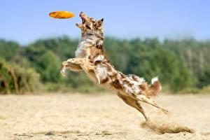 Bilder Hunde Sprung Strände Australian Shepherd Tiere
