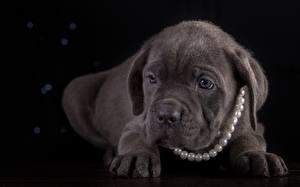 Hintergrundbilder Hunde Perlen Welpe Cane Corso Italiano Pfote Schwarzer Hintergrund ein Tier