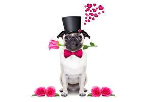 Fotos Hunde Rosen Der Hut Mops (Hunderasse) Weißer hintergrund