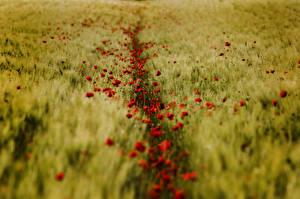 Fotos Acker Mohn Weizen Natur