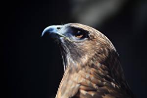 Fotos Habicht Vögel Schnabel Kopf