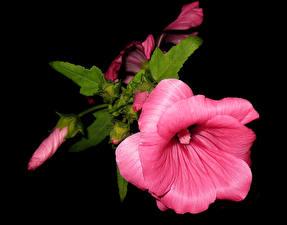 Fotos Malven Nahaufnahme Schwarzer Hintergrund Rosa Farbe Blütenknospe Blumen