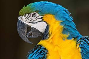 Bilder Papageien Eigentliche Aras Vögel Nahaufnahme Schnabel Kopf