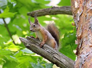 Bilder Hörnchen Ast Tiere
