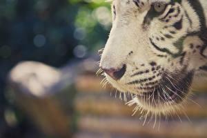 Tapety na pulpit Tygrysy Z bliska Kufa Wibryssy Biały Zwierzęta