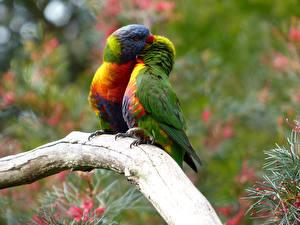 Fotos Vögel Papageien Zwei Ast Tiere