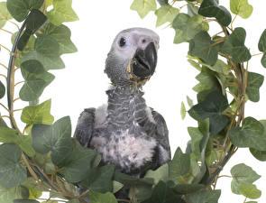 Fotos Vögel Papageien Weißer hintergrund Schnabel Ast Blattwerk Tiere