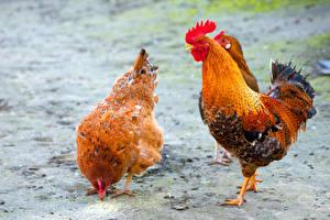 Bilder Vögel Hahn Haushuhn Tiere