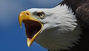 Hintergrundbilder Großansicht Habicht Schnabel Kopf Weißkopfseeadler ein Tier
