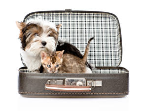 Wallpapers Dog Cats White background Suitcase Yorkshire terrier Kitty cat animal