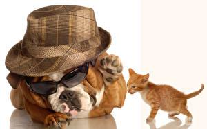 Wallpaper Dogs White background Kittens Bulldog Hat Eyeglasses Animals