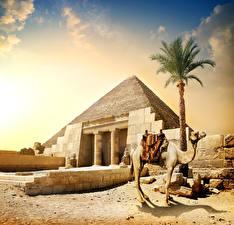 Hintergrundbilder Ägypten Kamele Pyramide bauwerk Palmen Cairo Natur
