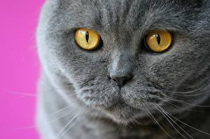 Fotos Augen Schottische Faltohrkatze Großansicht Starren Graues Schnauze Nase Tiere