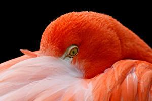 Bilder Flamingos Hautnah Orange Kopf ein Tier