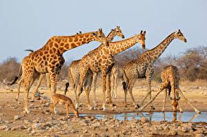 Fotos Giraffe