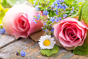 Photo Roses Matricaria Wood planks Pink color Two Flowers
