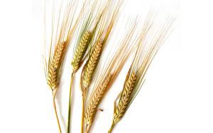 Hintergrundbilder Großansicht Weizen Ähre Weißer hintergrund Lebensmittel