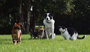 Wallpapers Dogs Cats Grass Chihuahua Border Collie Animals