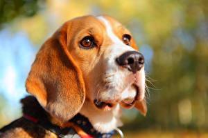 Hintergrundbilder Beagle