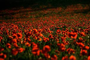 Hintergrundbilder Mohn Acker Rot Blumen