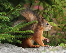 Bilder Eichhörnchen Ast Fichten Tiere