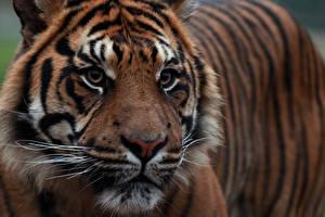 Tapety na pulpit Tygrysy Z bliska Tygrys sumatrzański Spojrzenie Kufa Zwierzęta