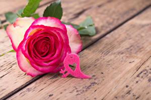 Hintergrundbilder Valentinstag Rose Vogel Großansicht Bretter Rosa Farbe Herz Blüte
