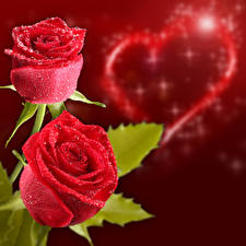 Wallpaper Valentine's Day Roses Two Red Heart Drops Red background Flowers
