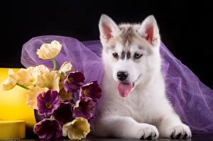 Papel de Parede Desktop Cão Filhotes Husky siberiano um animal