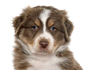 Bilder Hunde Weißer hintergrund Shepherd Schnauze australian shepherd Tiere