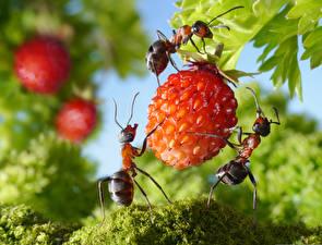 Bilder Hügel-Erdbeere Ameisen Großansicht lolita777 Lebensmittel Tiere