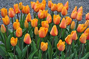 Pictures Tulips Closeup Orange Flowers