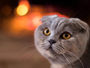 Bilder Katze Schottische Faltohrkatze Starren Graue Schnauze